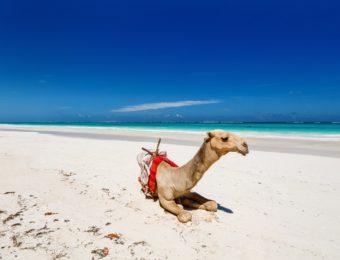 kenya-camel